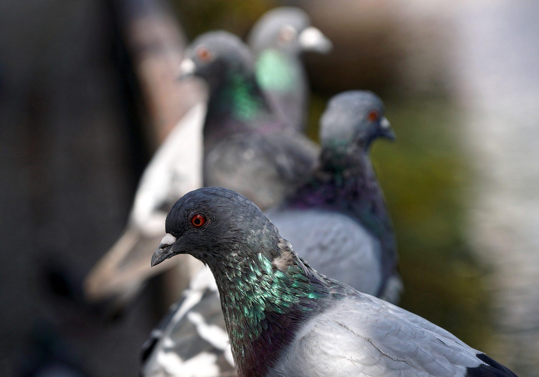 pigeons-4509124_1920
