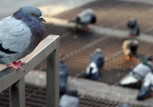 pombo-predio-controle-de-pombo